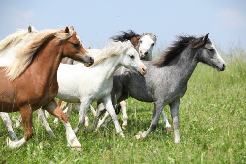 Batch Of Welsh Ponnies Running Together On Pasturage Stock Photo - Download Image Now