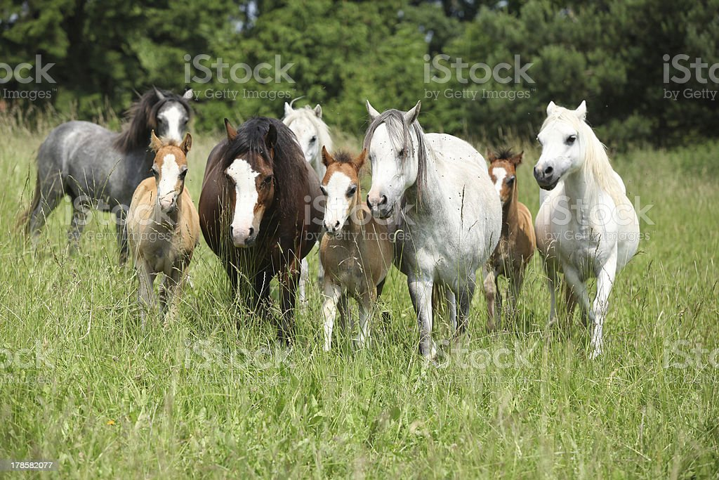 Batch of welsh ponnies running together on pasturage royalty-free stock photo