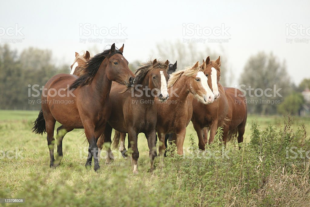 Batch of young ponnies on autumn pasturage royalty-free stock photo