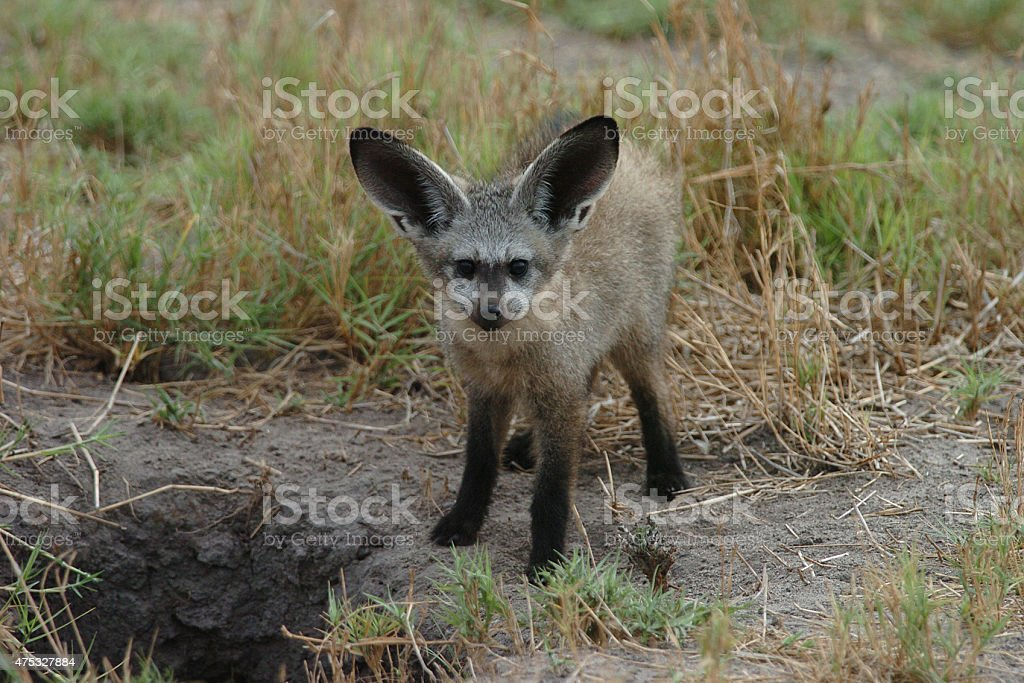 Bat-eared Fox stock photo