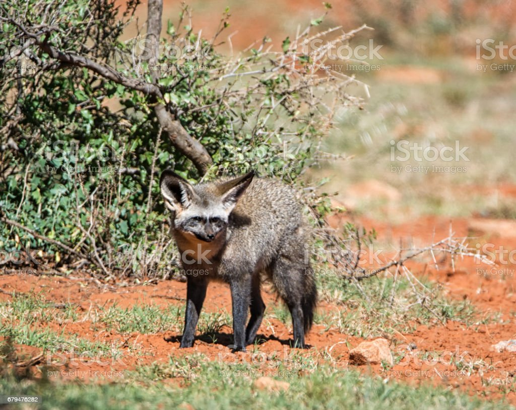 Bat-eared Fox royalty-free stock photo
