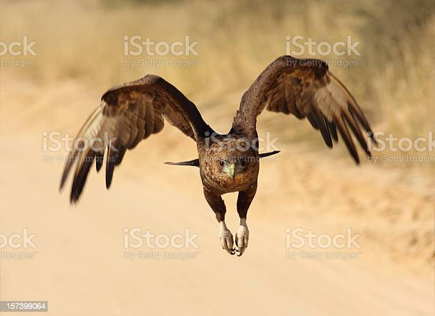 Bateleur eagele in flight picture id157399064?b=1&k=6&m=157399064&s=612x612&h=olvt6lrei6r0hfimukotlyb6a 5nom9wyleaunj2m2m=