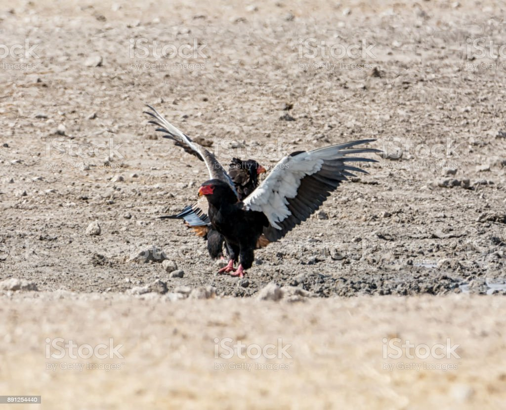 Bateleur Eagles stock photo