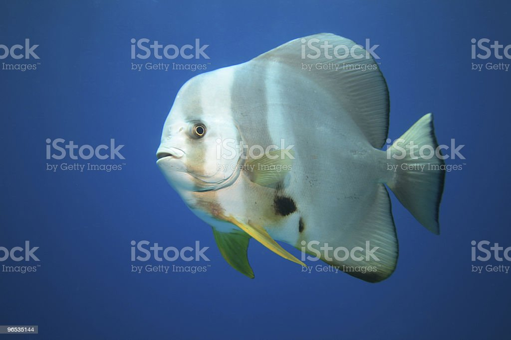 Batfish royalty-free stock photo