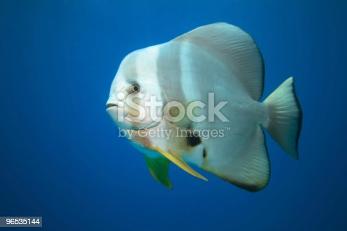 Batfish Stock Photo & More Pictures of Batfish - Platax sp.