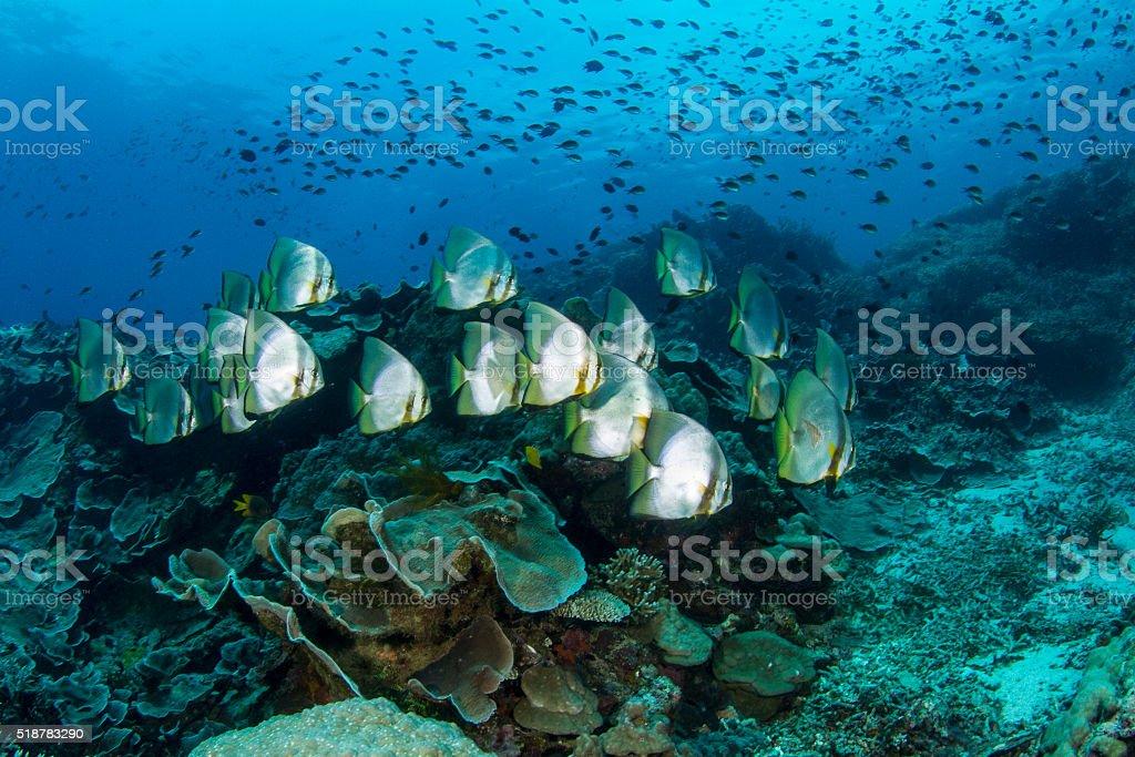 Batfish school on Bunaken Reef stock photo