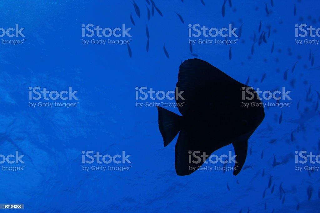 Batfish Silhouette stock photo