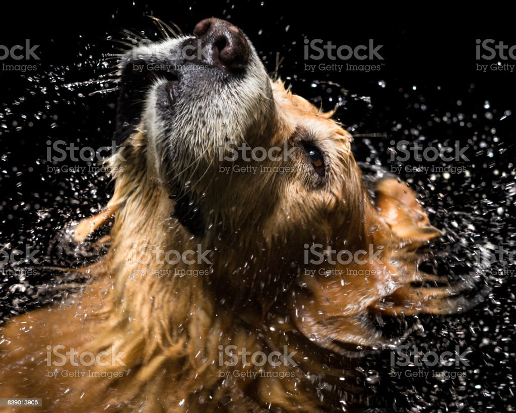 Bath dog Golden Retriever stock photo