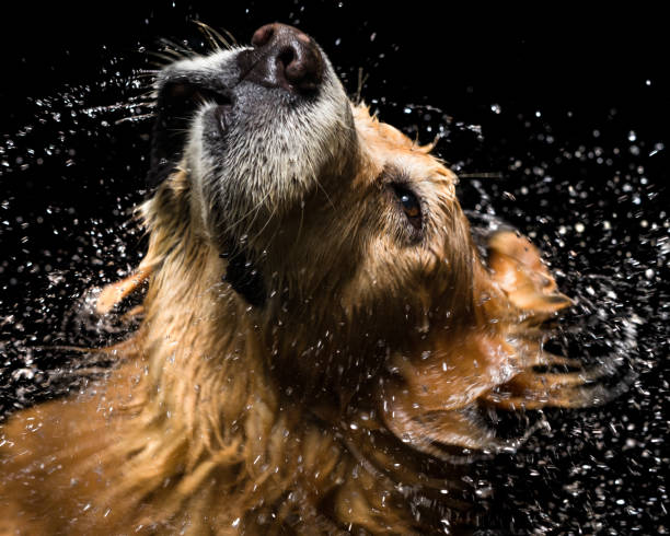 Chien Golden Retriever de la salle de bain - Photo
