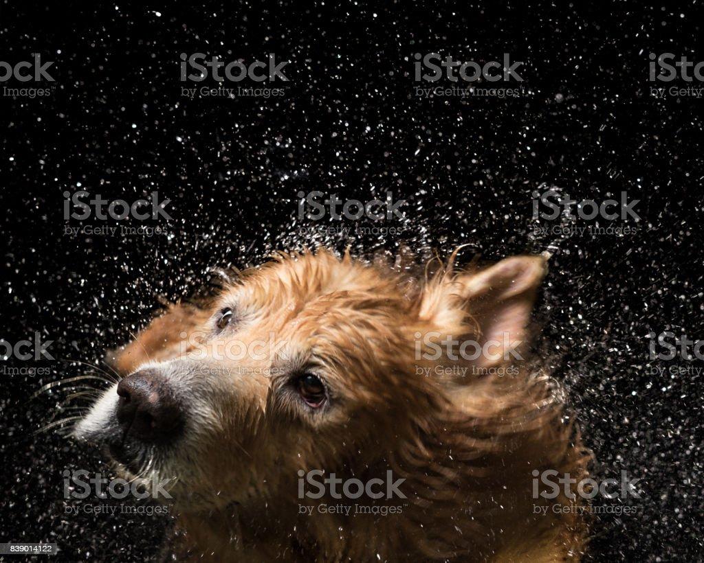 Bath dog Golden Retriever stock photo