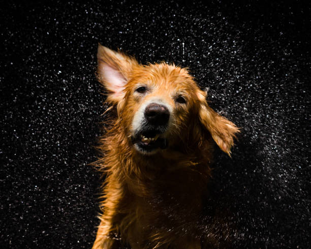 Bath dog Golden Retriever Dog shaking off water slow motion stock pictures, royalty-free photos & images