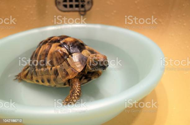 Bath with a pet tortoise a basin picture id1042186712?b=1&k=6&m=1042186712&s=612x612&h=bc3papfvwb4emvqmebk2tmgubdzbnpsglgqfpalglok=