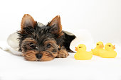 Bathing a little puppy. Yorkshire Terrier puppy in a towel with a rubber duck. Yorkshire Terrier