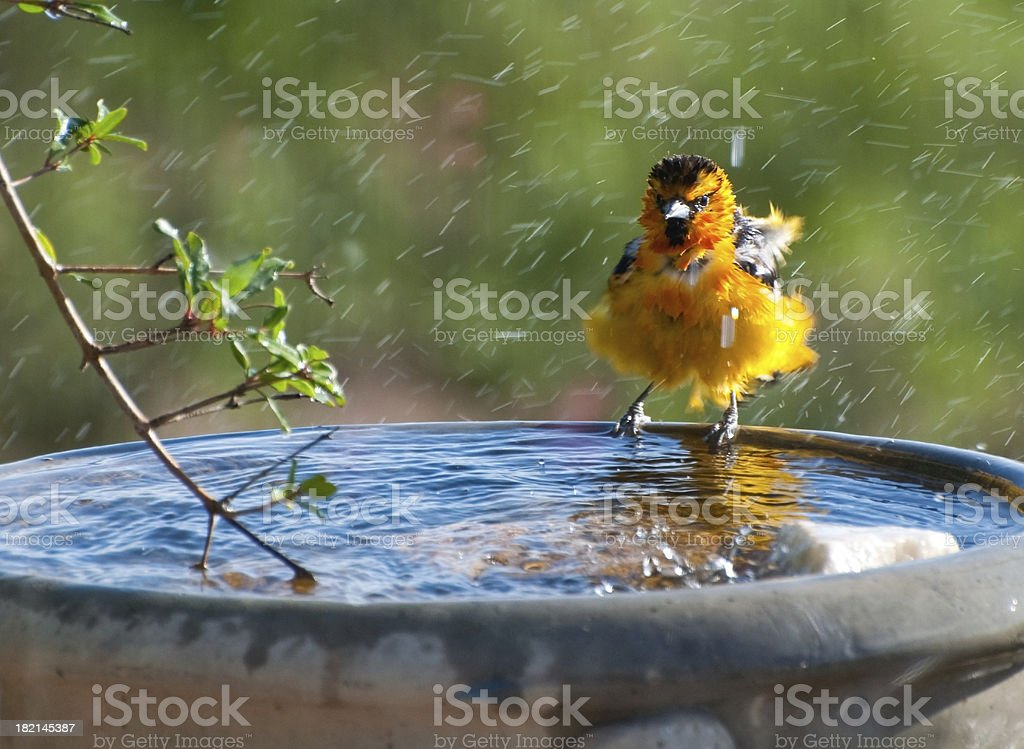 Bathing Bullocks - Royalty-free Animal Stock Photo