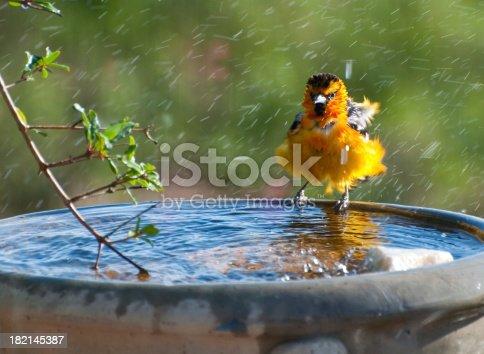 A bullocks oriole taking a bath