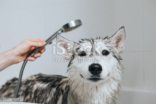 Siberian Husky is taking a shower in the bathroom  shower, cleanliness, smile, water, bathroom
