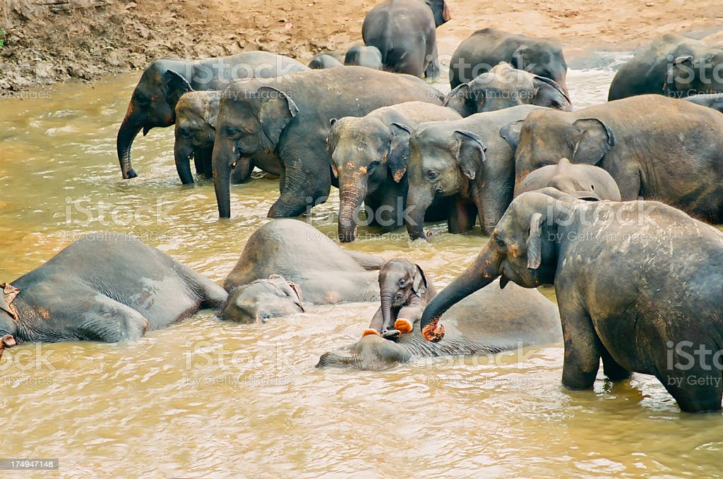 bathing elephants with baby in river stock photo