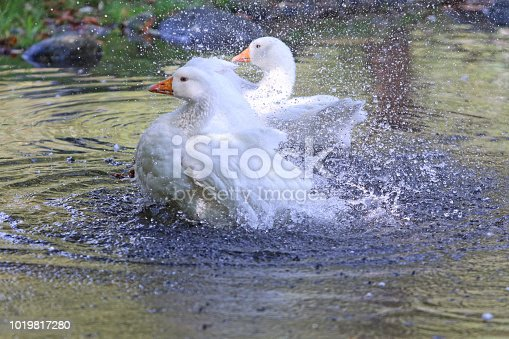 Bathing geese enjoying a pond in a forest in northwestern Switzerland.
