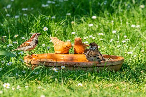 Vögel bei einer Vogeltränke im Sommer im Garten, die baden oder trinken