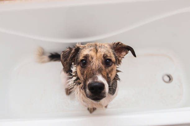 Bathing of the funny mixed breed dog. Dog taking a bubble bath. Grooming dog. Portrait of the funny mixed breed dog. Dog taking a bubble bath looking at camera. mixed breed dog stock pictures, royalty-free photos & images