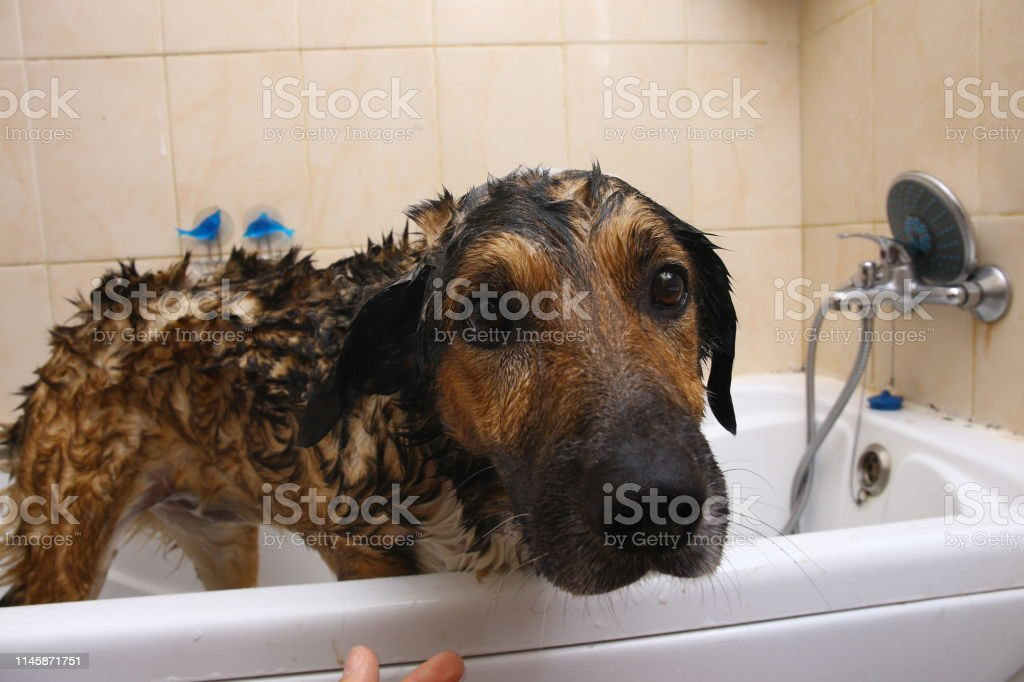 Portrait of the sad mongrel dog in a bathroom. Dog taking a bubble...