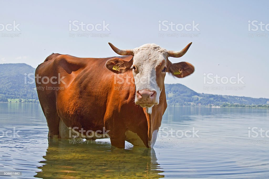 bathing pleasure of a cow stock photo