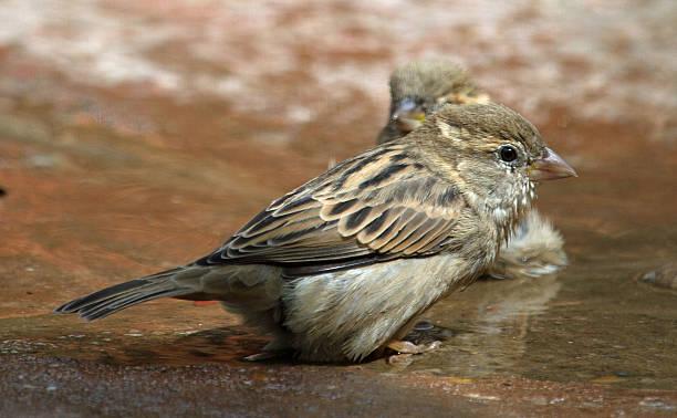 Bathing sparrow stock photo