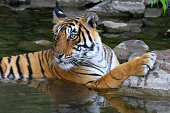 A Bengal Tiger bathes in a stream in Ranthambore National Park, India