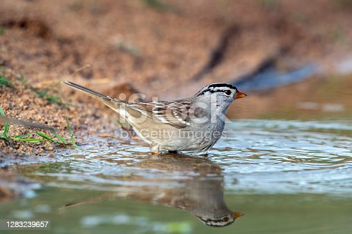 A White-crowned Sparrow (Zonotrichia leucophrys) bathing in a pond south of Tucson, AZ.  This sparrow has a huge range, breeding in the northern Cananda and the North American arctic, and wintering in most of the United States to central Mexico.