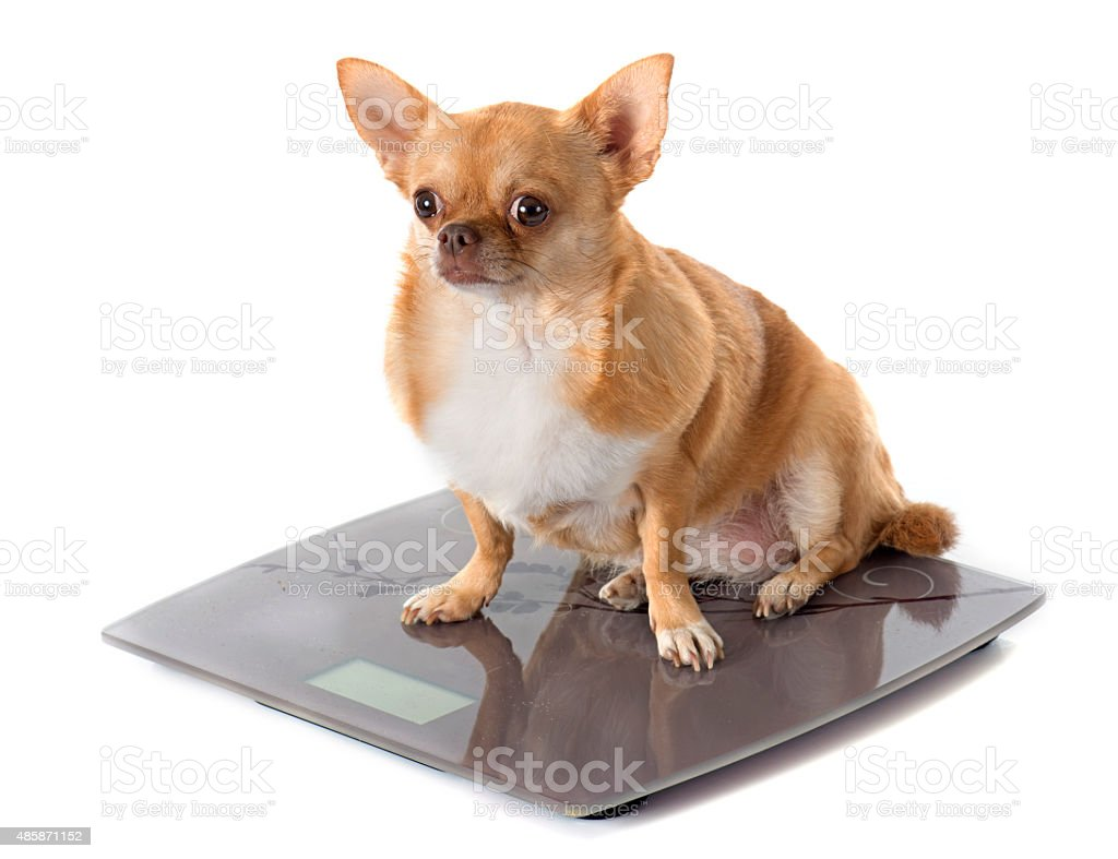 bathroom scales and fat dog stock photo