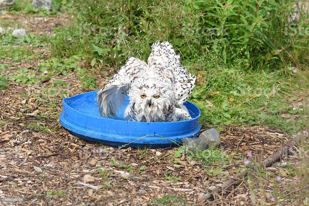 Bathtime Snowy Owl stock photo