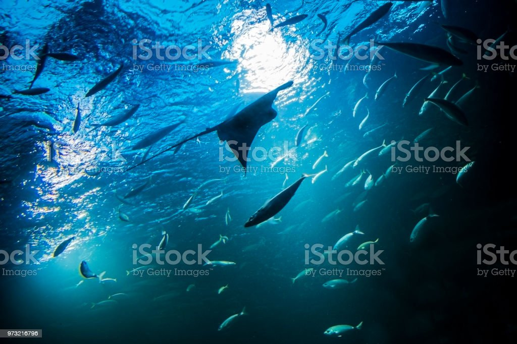 Batoidea swimming with other fishes under the sea. Manta silhouette...