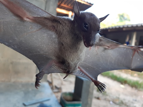 Bats are often found in the tropics.