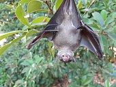 istock Bats are often found in the tropics. 1203082981