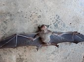 istock Bats are often found in the tropics. 1203082982