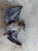 istock Bats are often found in the tropics. 1203082984