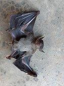 istock Bats are often found in the tropics. 1203083016