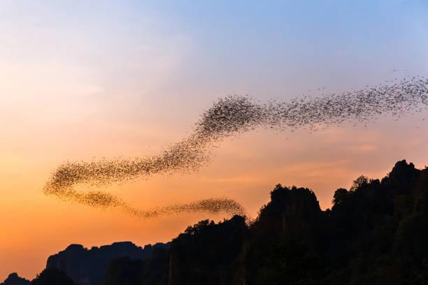 Bats forage picture id933105452?b=1&k=6&m=933105452&s=612x612&w=0&h=gwwl0s243s0pbmcpdgcwmd ujou1jbifps k djvzlw=