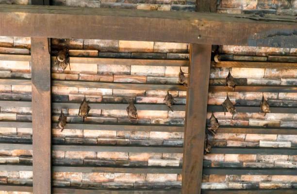 Bats hang under brown wooden roof stock photo