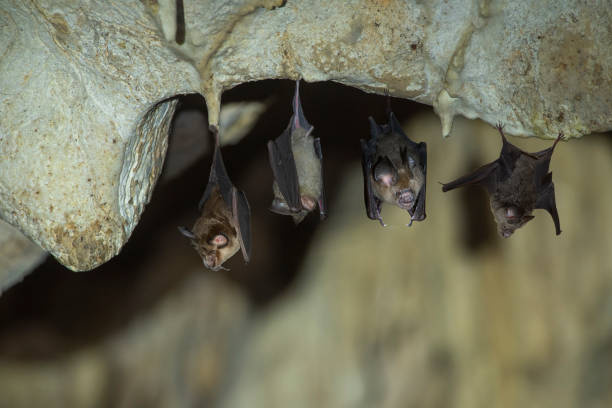 Bats hanging in a dark cave stock photo