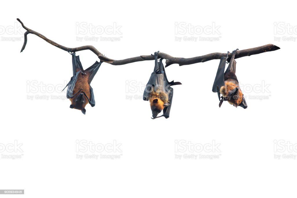Bats hanging isolated on white background stock photo