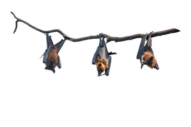 Bats hanging isolated on white background stock photo
