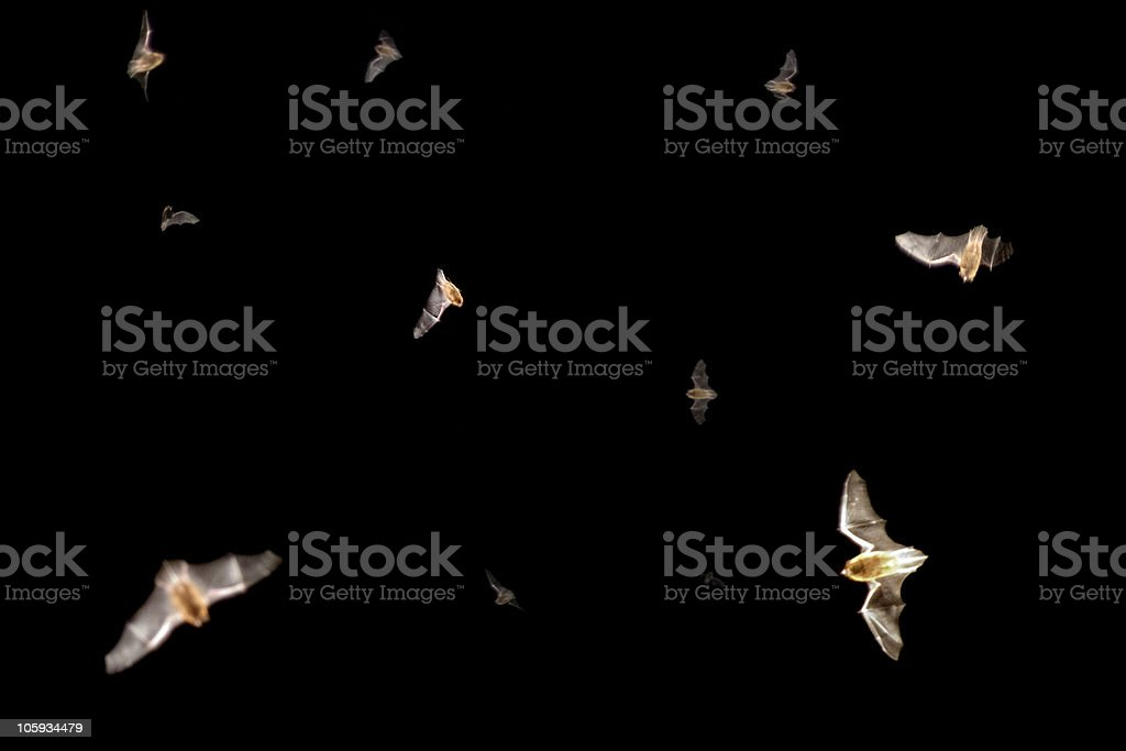 Bats in the air stock photo