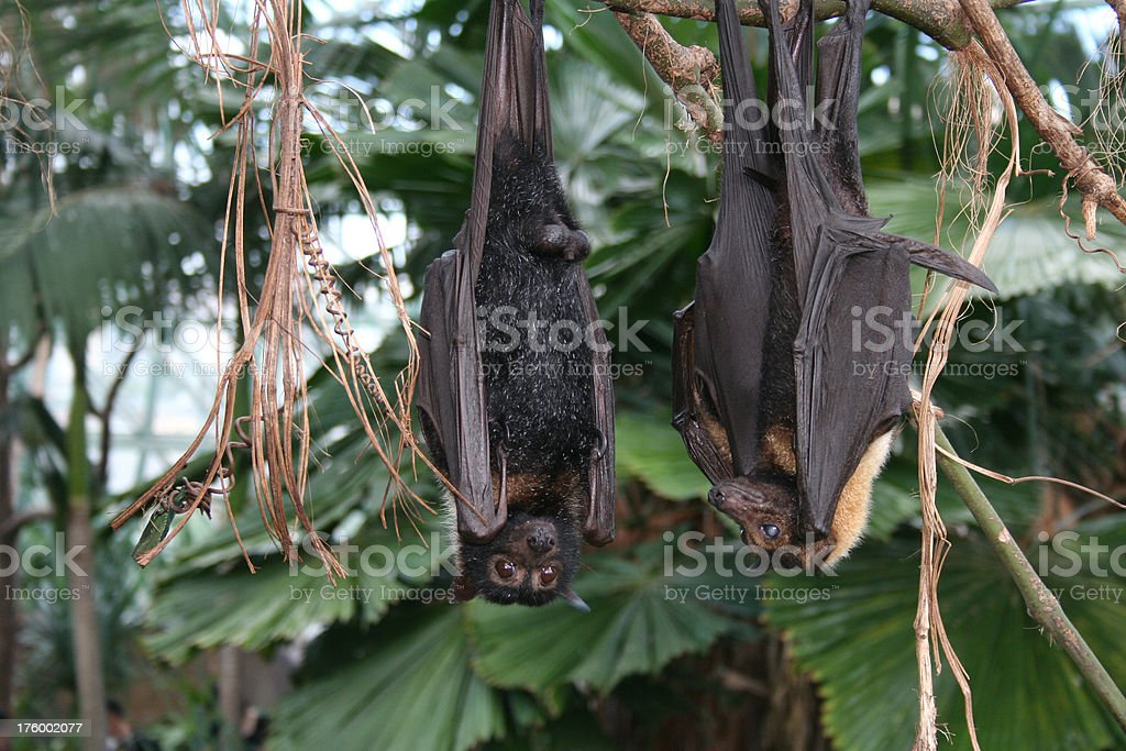 bats royalty-free stock photo