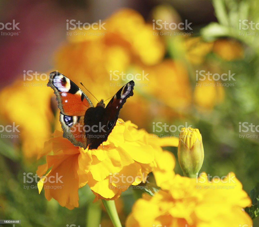 Batterfly on marigold royalty-free stock photo