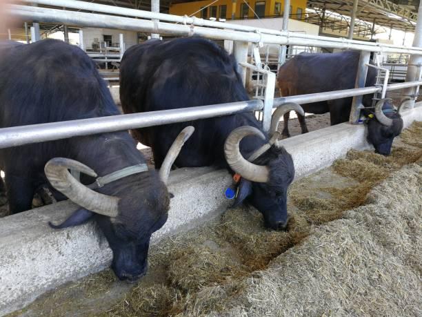 battipaglia - bufale in allevamento - allevatore foto e immagini stock