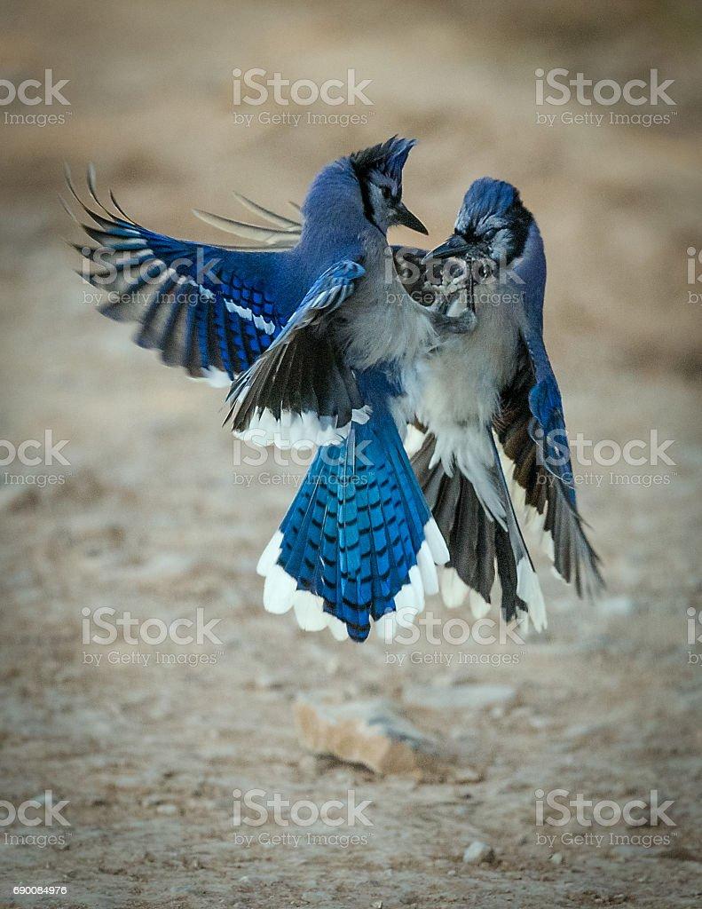 Battle Of The Blue Jays stock photo