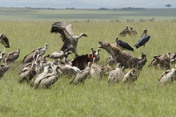 slag bij - hyena stockfoto's en -beelden
