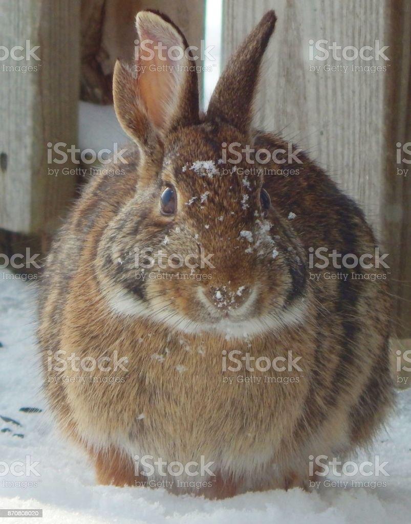Battle Scar Rabbit Stock Photo - Download Image Now - iStock