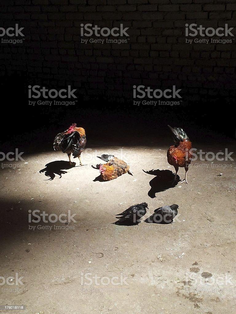 Batu Cave Birds stock photo